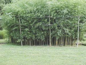 bamboo business boomingin ohio